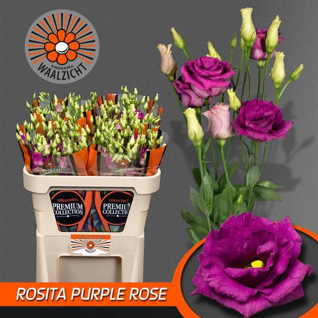 <h4>EUS G ROSI PURP ROSE</h4>
