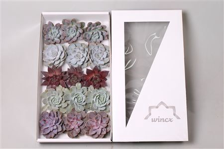 <h4>Echeveria Love Mix (wincx) Cutfl (5 Spcs)</h4>