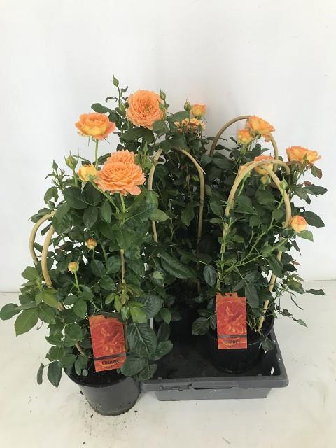<h4>ROSA FL ORANG SELECT</h4>