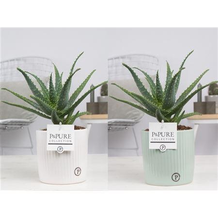 <h4>Aloe Arborescens Keramiek Lucille</h4>