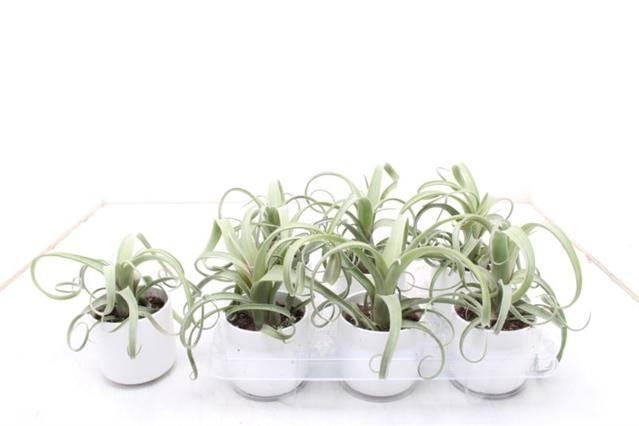 <h4>Tillandsia Curly Slim Ceramique #</h4>