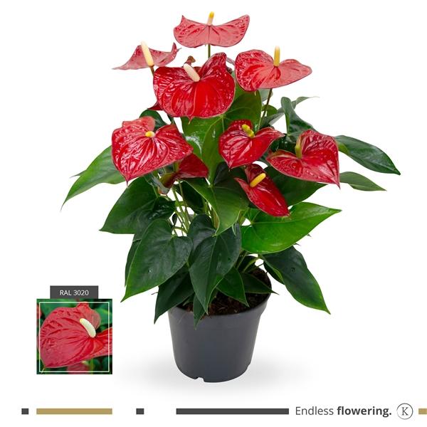<h4>Anthurium Karma Red</h4>