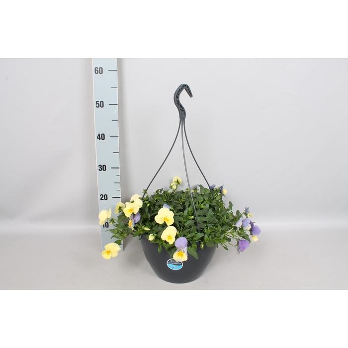<h4>Hangpotten 27 waterreservoir Viola Coolwave Blueberry Swirl</h4>