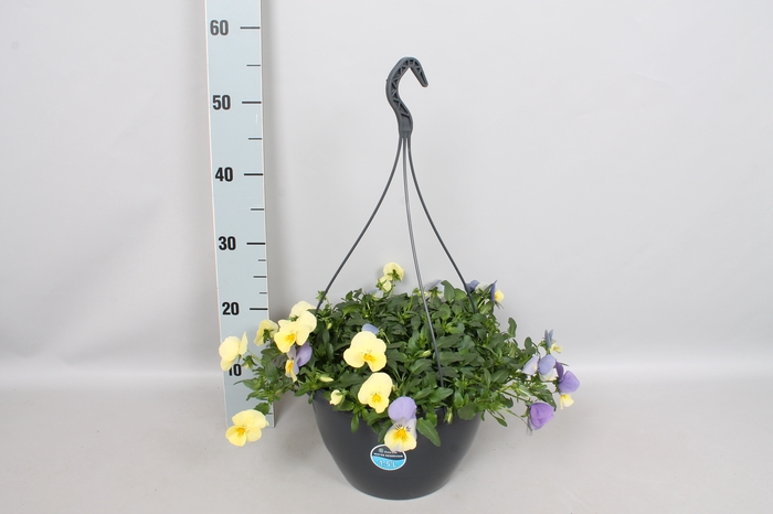Hangpotten 27 waterreservoir Viola Coolwave Blueberry Swirl