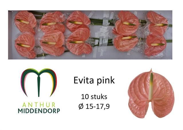 <h4>ANTH A EVITA PINK</h4>