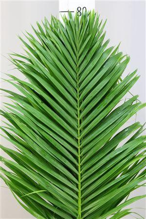 <h4>Kentia Palm 80</h4>