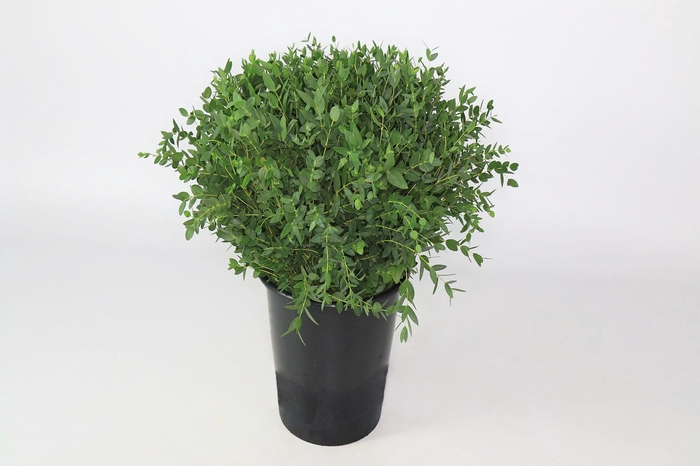 <h4>Eucalyptus Parvifolia</h4>