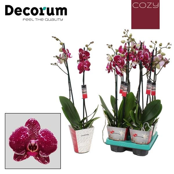 <h4>Phalaenopsis cozy 2-Tak Eduction 60cm R2</h4>