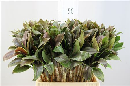 <h4>Cordyline Purple Compacta Groen</h4>
