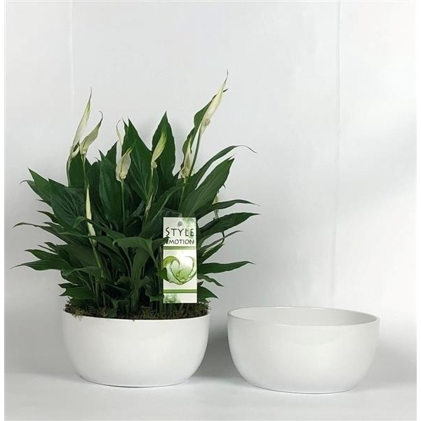 <h4>Spathiphyllum 4x9 cm in Basel schaal wit 20cm</h4>
