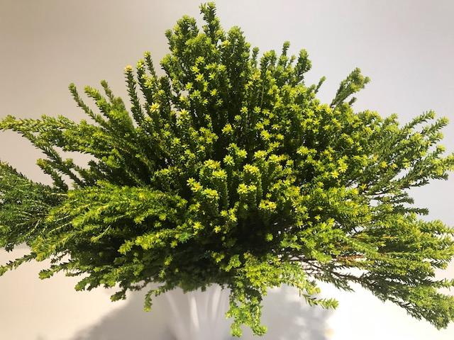 <h4>Greens - Agathosma Green</h4>