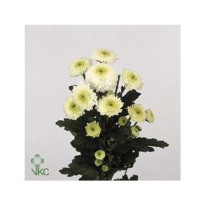 Chrysanthemum spray san Ferry
