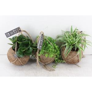 arr. Kokoplant - Green Smit collection