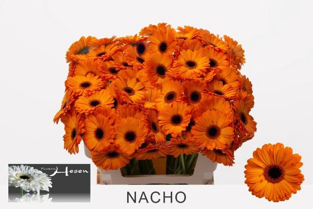 <h4>GE MI NACHO</h4>