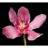 Cymbidium 5/7 Dark Pink Bl pst