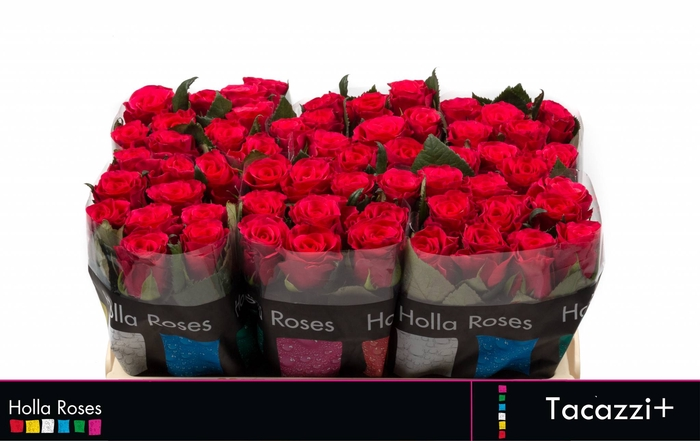 <h4>Rosa grootbloemig Tacazzi+</h4>