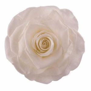 Rose Monalisa Ivory