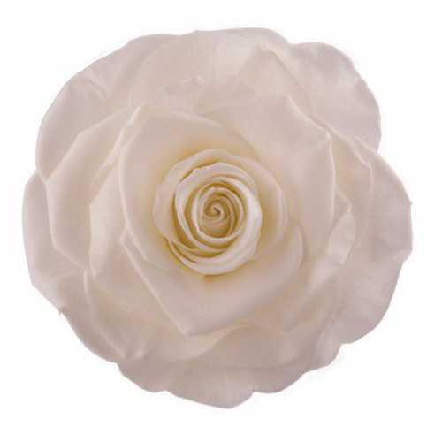 <h4>Rose Monalisa Ivory</h4>