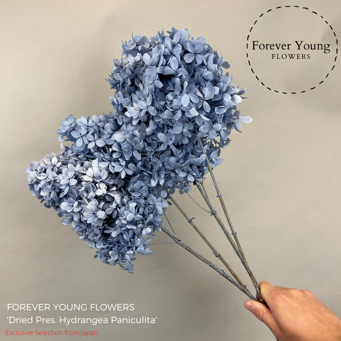 <h4>Dried Preserved Hydrangea Pani Blue</h4>