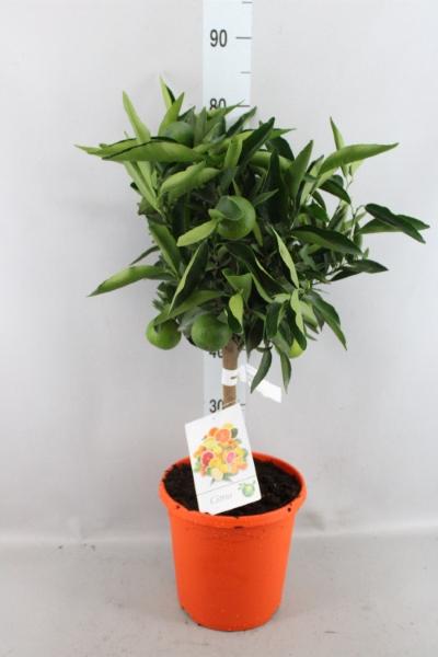 <h4>Citrus reticulata 'Clementine'</h4>