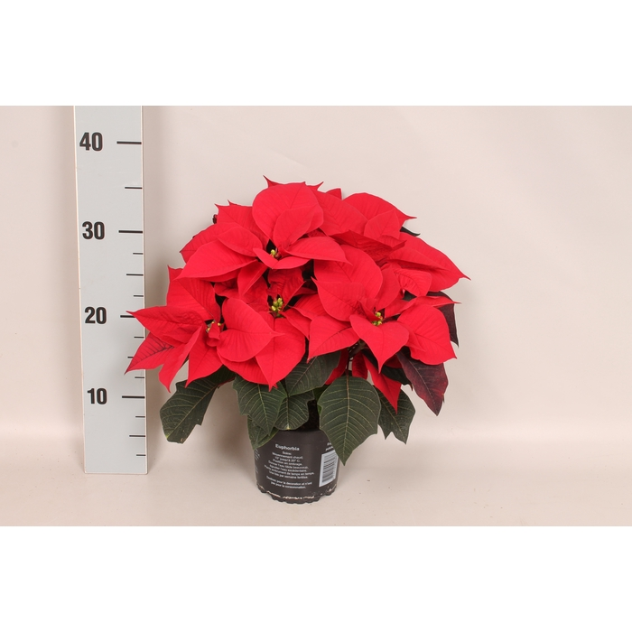 <h4>Poinsettia 13 cm Mirage Red</h4>