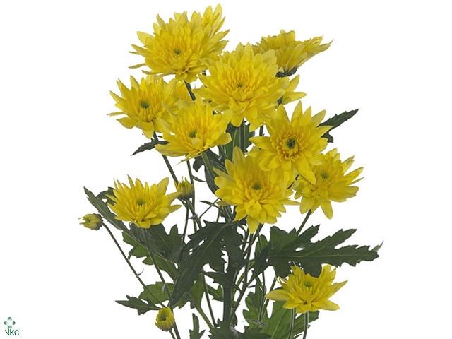 Chrysanthemum spray euro amarilla