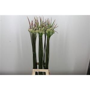 Allium Cepa Judith