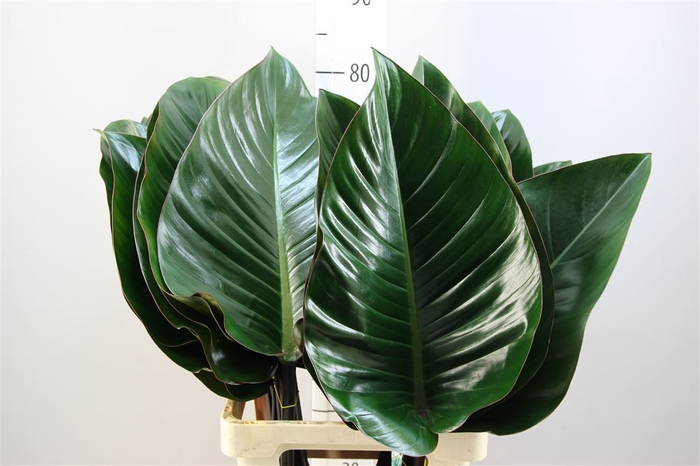 <h4>Philodendron Congo Rood Xxl</h4>