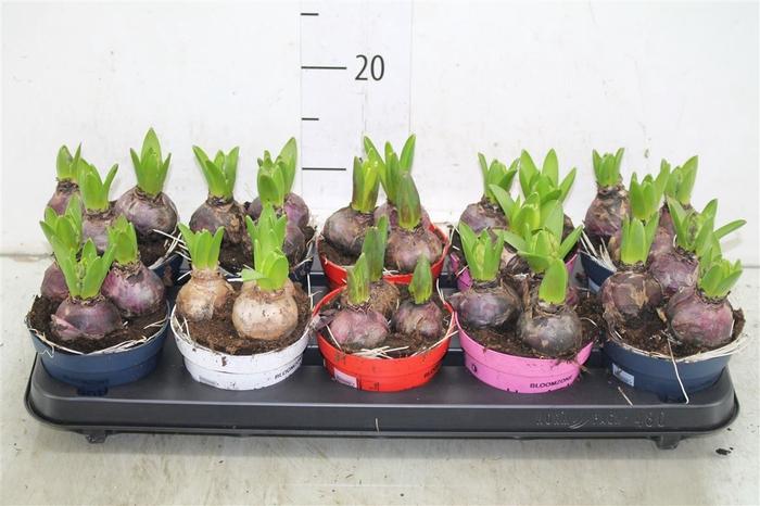 <h4>Hyacinthus Gemengd 3pp Colorpot</h4>