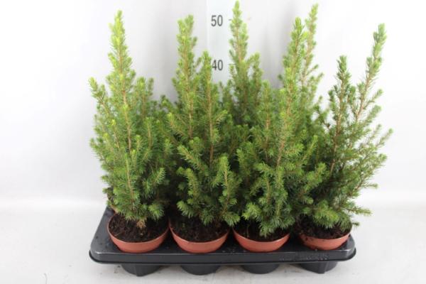 <h4>Picea glauca 'Conica'</h4>