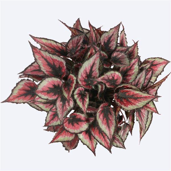 <h4>Begonia Magic Colours Red Tango</h4>