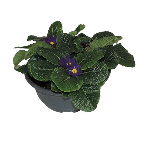 <h4>Primula Acaulis Blauw Schaal</h4>