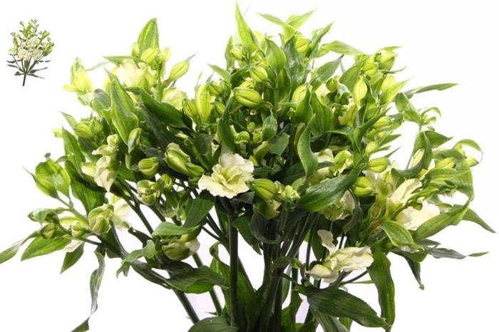 <h4>Alstr Flor Paradiso Extra</h4>