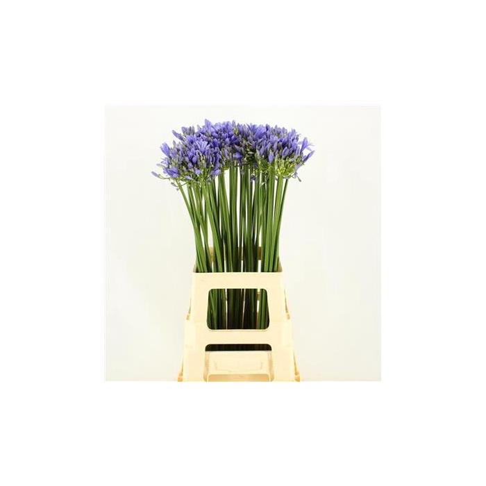 <h4>Agapanthus Uri Blue Sale !!</h4>