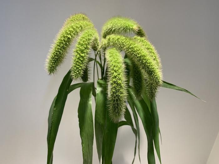 <h4>Grasses - Setaria</h4>