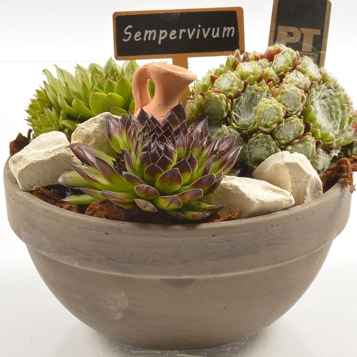 <h4>Arr.  Sempervivum L%</h4>