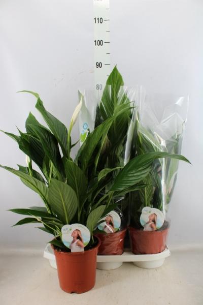 <h4>Spathiphyllum  'Bingo Cupido'</h4>