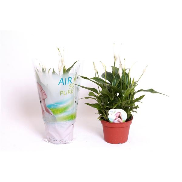 <h4>Airsopure - spath pearl 15 cm</h4>