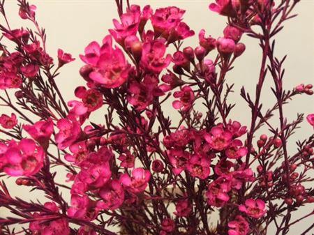 <h4>Wax Flower Cerise</h4>
