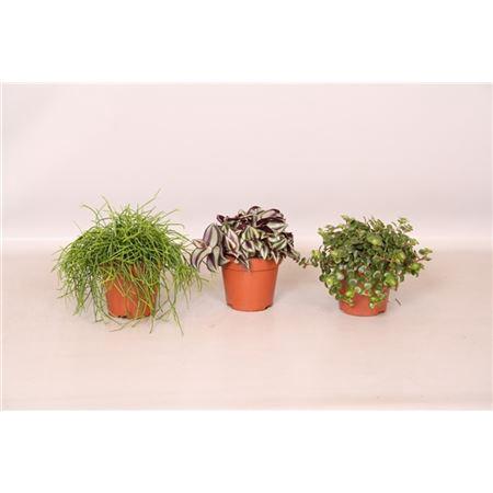 <h4>Pure Green Mix Soorten : Rhipsalis, Tradescantia,</h4>