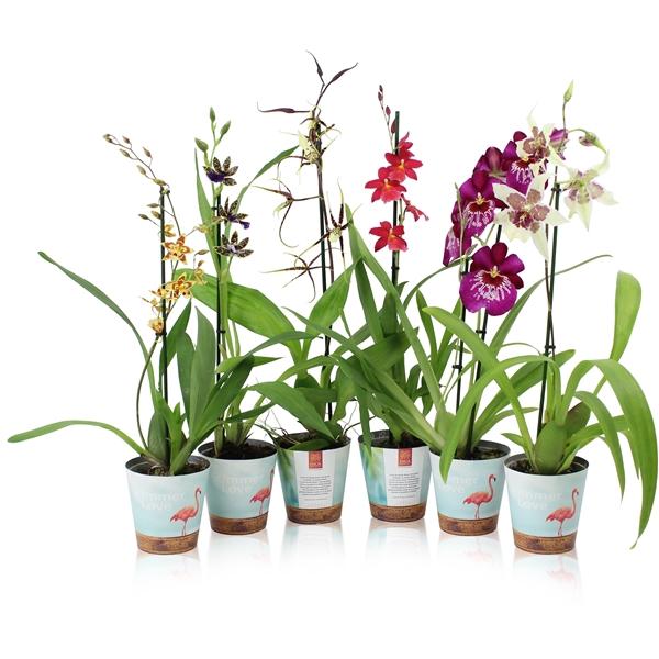 <h4>Orchideeën Inca mix 1T Potcover</h4>