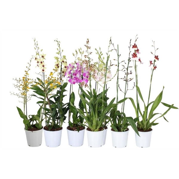 <h4>Orchidee mix 2t toef 2 pp</h4>