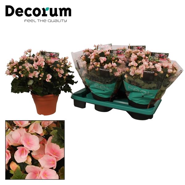 <h4>Begonia betulia''light'' licht rose</h4>