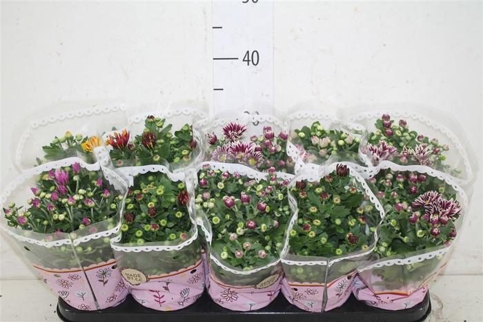 <h4>Chrysanth Gemengd 2 Kleurig</h4>