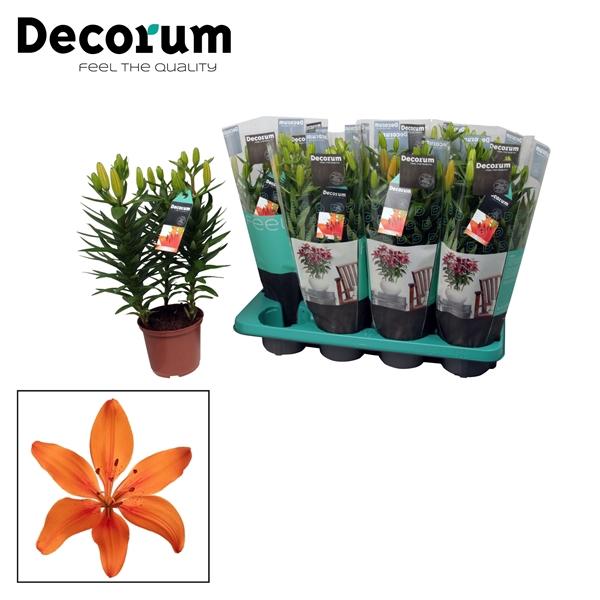 <h4>Lilium az. Orange Matrix</h4>