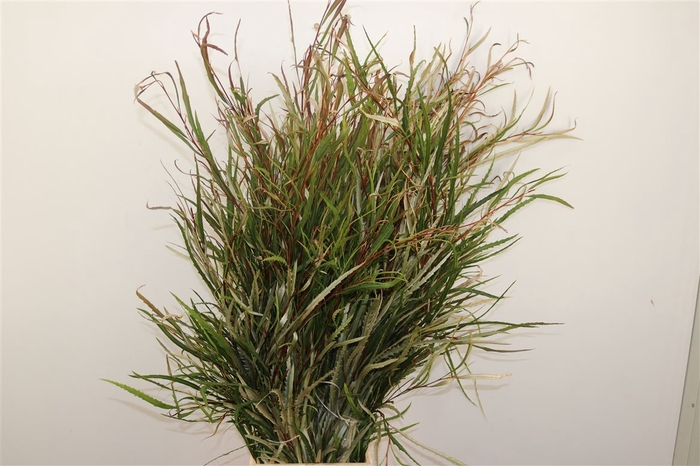 <h4>Grevillea Naturel 300gr Pbs</h4>