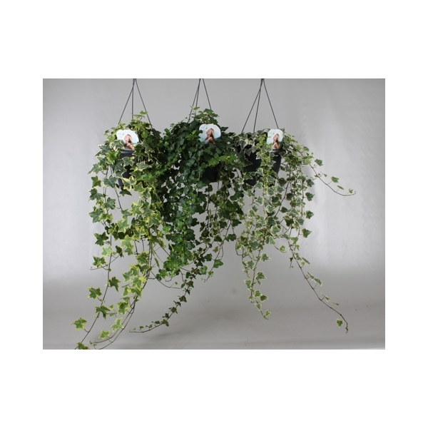 <h4>Hedera helix gemengd Air So Pure</h4>