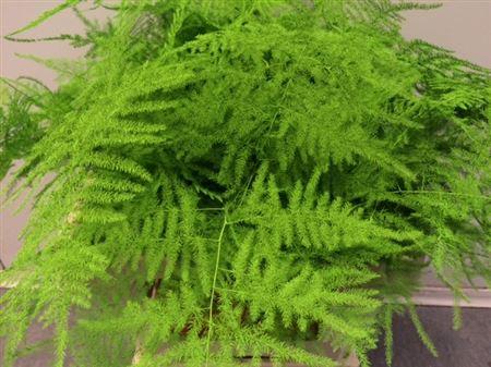 <h4>Asp. Lang Green</h4>