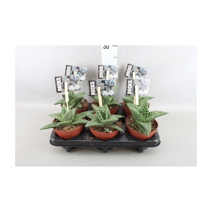 <h4>Aloe variegata 'Magic'</h4>