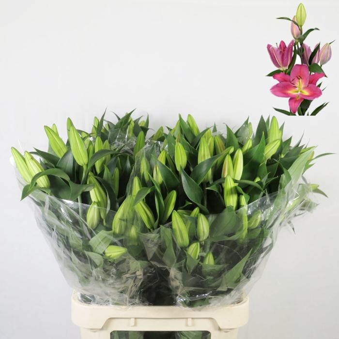 Lilium oriental Tarrango